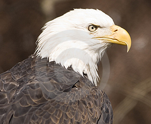 Bald Eagle Portrait (captive) Stock Image - Image: 2093641