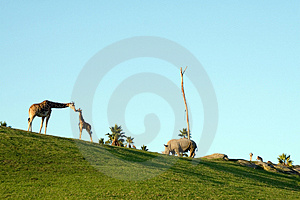 Giraffes And Rhino Royalty Free Stock Photo - Image: 2095645