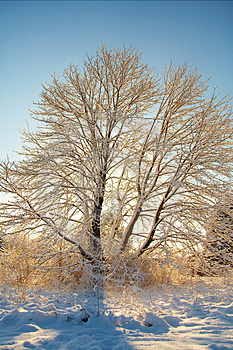 Wintering In Maple Royalty Free Stock Photo - Image: 2095925