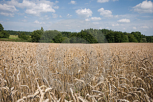 Field Of Ripe Wheat Royalty Free Stock Photos - Image: 20902318