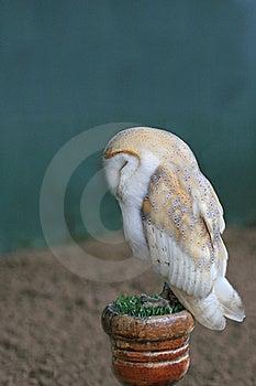 Barn Owl Stock Photo - Image: 20910730