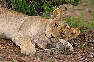Lion Cub And Tortoise Stock Photos - Image: 20913883