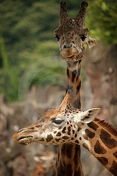 Giraffes Royalty Free Stock Image - Image: 20914676