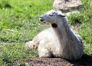 Lama Royalty Free Stock Image - Image: 20932696