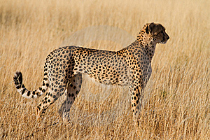 Female Cheetah Royalty Free Stock Photography - Image: 20947017