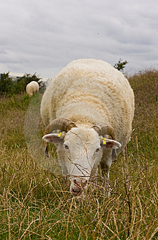 Grazing Sheep Royalty Free Stock Photography - Image: 20947107