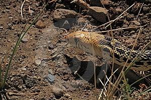 Rapina De Desengaço Da Serpente. Imagens de Stock Royalty Free - Imagem: 20947569
