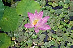 Beautiful Lotus In Pong Stock Image - Image: 20965361