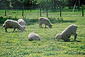 Sheeps Stock Photo - Image: 20965650