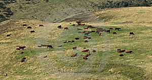 Cattles Royalty Free Stock Image - Image: 20970156