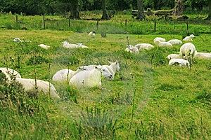 Flock Of Sheep Royalty Free Stock Photo - Image: 20972135