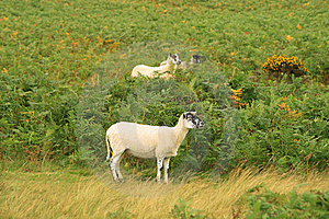 Sheep On The Lawn Stock Photography - Image: 20972192