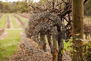 Winter Vineyards Stock Images - Image: 20973294