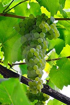 Saftige Weintraube Stockfotos - Bild: 20979103