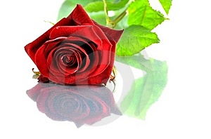 Red Rose Stock Image - Image: 20979481