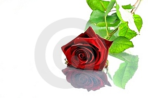 Red Rose Stock Photos - Image: 20979483