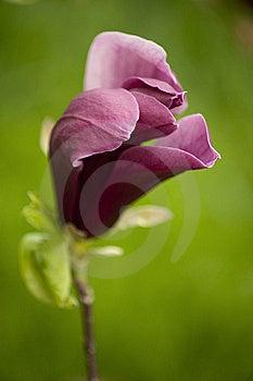 Magnolia Royalty Free Stock Photography - Image: 20991597