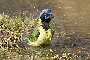 Bathing Green Jay Royalty Free Stock Images - Image: 20995599