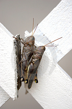 Locust Piggy Back Ride Stock Image