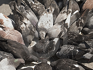 Pigeon Frenzy Free Stock Image