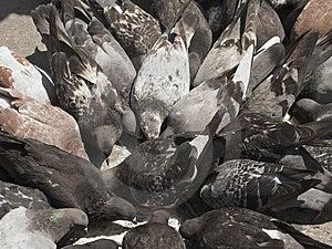 Pigeon Frenzy Free Stock Image