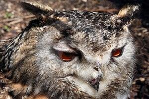 OwlCloseup Fotografering för Bildbyråer