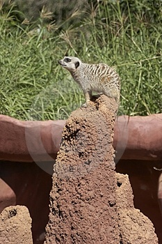 Slender-tailed Meerkat Stock Photo
