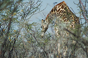 Giraffe In Etosha Stock Photo