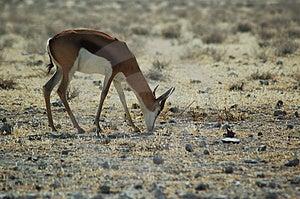 Springbok In Etosha #2 Free Stock Photo