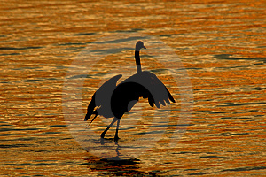 Twilight Egret Dance Free Stock Photos