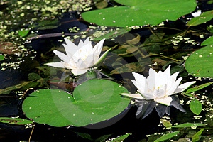 Lilies in a pond Royalty Free Stock Photo