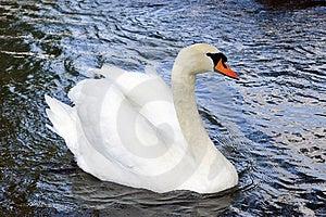 Swan Free Stock Photos