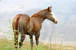 Chestnut Filly By The Water Free Stock Photography