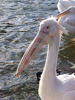 Pelican Free Stock Photos