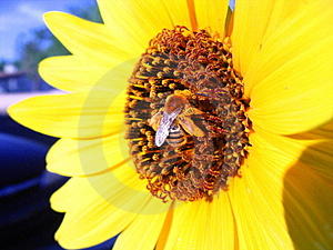 Μέλισσα στο κίτρινο λουλούδι Στοκ εικόνα με δικαίωμα ελεύθερης χρήσης