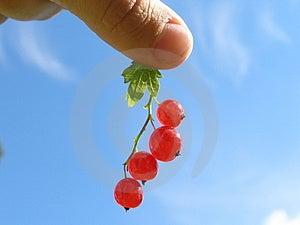 拿着红浆果 免版税库存照片