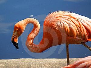 Flamingo [2] Free Stock Image