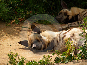 Hyena [1] Free Stock Photos