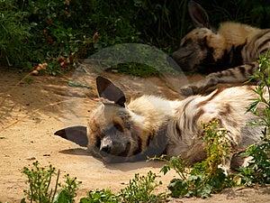 Hyena [1] Στοκ φωτογραφίες με δικαίωμα ελεύθερης χρήσης