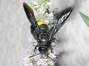 Black Bee Free Stock Image