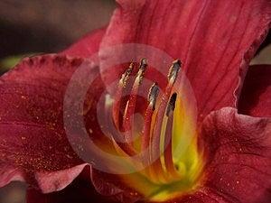 Темно - красный взгляд Daylily Стоковые Фото