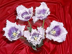Tulip 4 Free Stock Photography