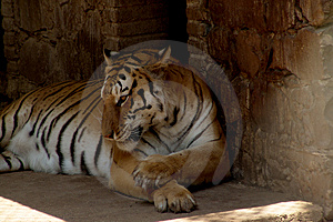 Tiger Free Stock Photos
