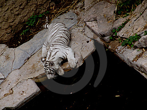 Tiger Free Stock Photography