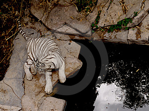 White Tiger Free Stock Photos