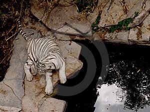 White Tiger Free Stock Photos