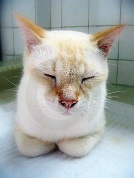 Chat blanc de sommeil Photo stock