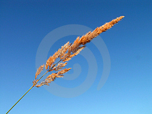 Yellow grass on a blue background. Stock Photo