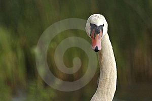 A Swan-necked Beauty Stock Photo