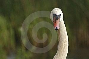 Uma beleza cisne-necked Foto de Stock